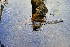 Alligatore nascosto Fotografia Stock