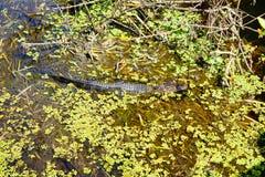 Alligatore nascosto Fotografie Stock Libere da Diritti