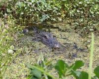 Alligatore nascosto nella palude Fotografia Stock