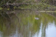 Alligatore nei rami paludosi di fiume della Luisiana Fotografia Stock Libera da Diritti