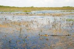 Alligatore nei terreni paludosi Immagine Stock
