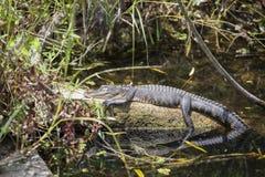 Alligatore nei terreni paludosi Fotografie Stock