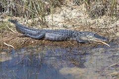 Alligatore nei terreni paludosi, Florida Immagini Stock Libere da Diritti