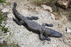Alligatore nei terreni paludosi, Florida Fotografie Stock