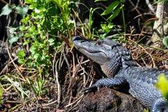 Alligatore nei terreni paludosi, Florida, U.S.A. Fotografia Stock Libera da Diritti