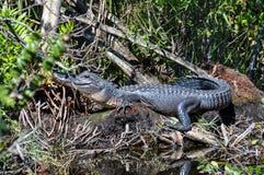 Alligatore nei terreni paludosi, Florida, U.S.A. Immagine Stock Libera da Diritti