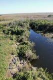 Alligatore nei terreni paludosi - Florida - U.S.A. Fotografia Stock Libera da Diritti