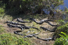 Alligatore nei terreni paludosi - Florida - U.S.A. Immagine Stock Libera da Diritti