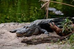 Alligatore nei terreni paludosi su terra Fotografia Stock