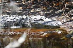 Alligatore nel fango Fotografie Stock Libere da Diritti