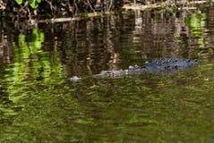 Alligatore nel fiume Fotografia Stock