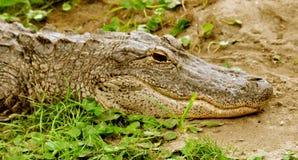Alligatore nel grass-1 Immagini Stock Libere da Diritti