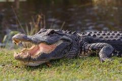 Alligatore nel parco dei terreni paludosi Fotografie Stock
