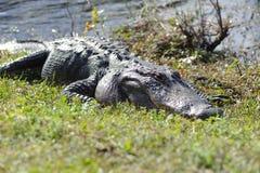 Alligatore nel parco dei terreni paludosi Fotografie Stock Libere da Diritti