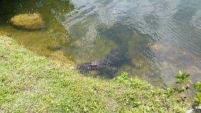 Alligatore nel parco dei terreni paludosi Immagini Stock Libere da Diritti