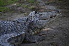 Alligatore nel parco di Hamat Gader Fotografia Stock