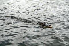 Alligatore nel parco nazionale dei terreni paludosi, Florida del sud Immagini Stock
