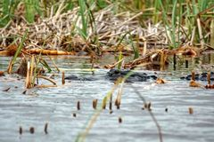 Alligatore nel parco nazionale dei terreni paludosi, Florida del sud Fotografia Stock