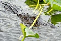 Alligatore nel parco nazionale dei terreni paludosi, Florida del sud Immagini Stock Libere da Diritti