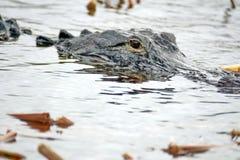 Alligatore nel parco nazionale dei terreni paludosi, Florida del sud Fotografie Stock Libere da Diritti