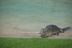 Alligatore nel raggruppamento del cortile Immagini Stock