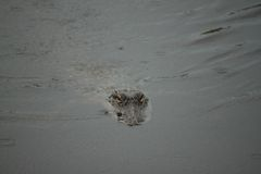Alligatore nel ramo paludoso di fiume Fotografia Stock Libera da Diritti