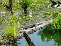 Alligatore nel ramo paludoso di fiume della Luisiana Immagine Stock