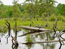 Alligatore nel ramo paludoso di fiume della Luisiana Fotografia Stock