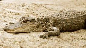 Alligatore nel sand-1 Immagini Stock Libere da Diritti