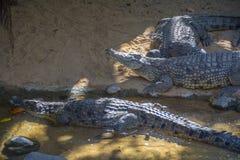 Alligatore nel wtaer Immagini Stock Libere da Diritti