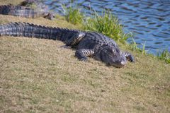 Alligatore nell'erba vicino ad uno stagno Immagini Stock