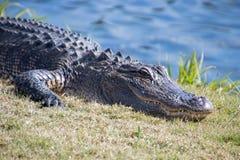 Alligatore nell'erba vicino ad uno stagno Fotografia Stock Libera da Diritti