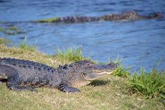 Alligatore nell'erba vicino ad uno stagno Fotografie Stock Libere da Diritti