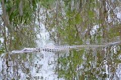 Alligatore nella palude Fotografie Stock Libere da Diritti