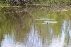 Alligatore nella palude Fotografia Stock