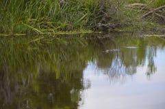 Alligatore nella palude Fotografie Stock
