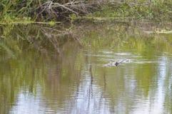 Alligatore nella palude Immagini Stock Libere da Diritti