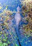 Alligatore nella palude dei terreni paludosi di Florida Fotografia Stock