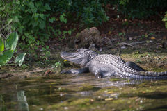 Alligatore nella palude di Florida Immagine Stock Libera da Diritti