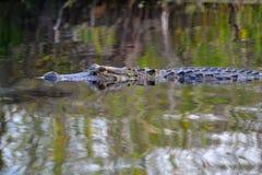 Alligatore nella Palude-fine up-2 Fotografie Stock Libere da Diritti