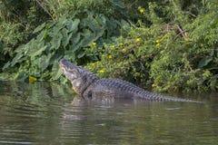 Alligatore nella stagione di accoppiamento Fotografie Stock Libere da Diritti