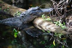 Alligatore nelle paludi Fotografie Stock