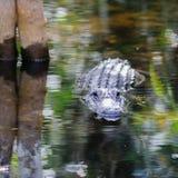 Alligatore nelle paludi Fotografia Stock Libera da Diritti