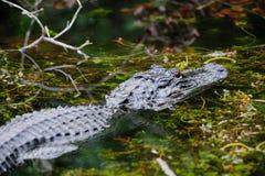 Alligatore nelle paludi Immagine Stock