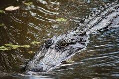 Alligatore nella palude Immagini Stock