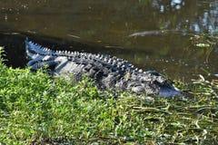 Alligatore nelle zone umide che mostrano corpo intero Immagine Stock Libera da Diritti