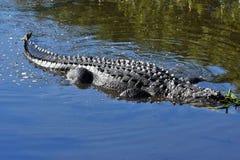 Alligatore nelle zone umide che mostrano corpo intero Fotografia Stock Libera da Diritti
