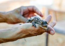 Alligatore neonato Immagini Stock