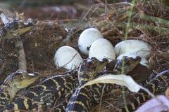 Alligatore neonato vicino alla deposizione delle uova nel nido Fotografie Stock
