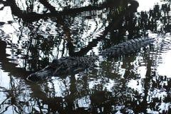 Alligatore nero nascosto nel fiume Yacuma Immagine Stock